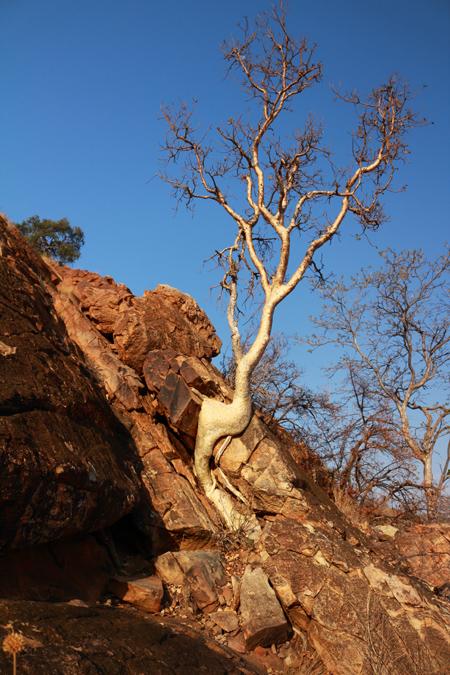 Arbre du Mapungubwe National Park en Afrique du Sud