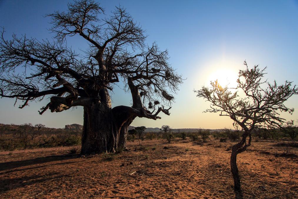 Baobab au Mapungubwe National Park en Afrique du Sud
