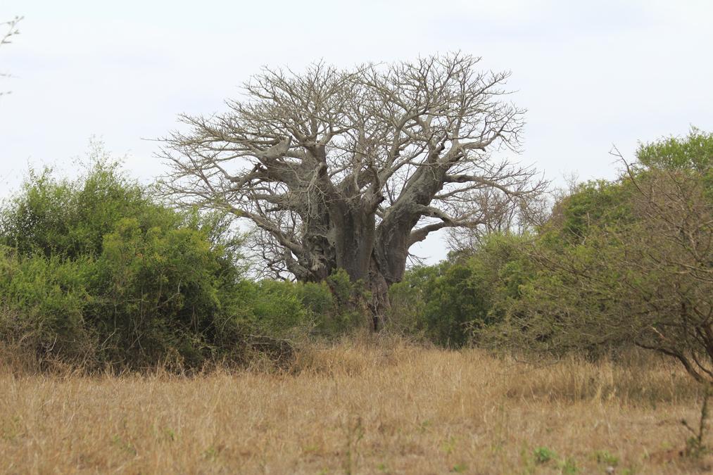 Baobab du Kruger National Park