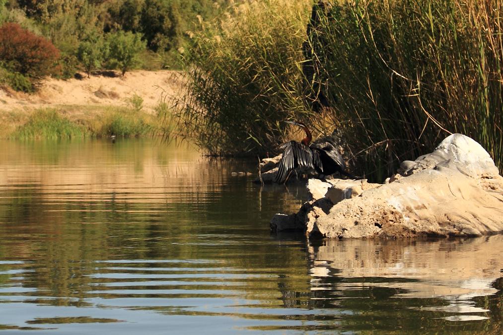 Anhinga d'Afrique (Anhinga rufa) en Namibie