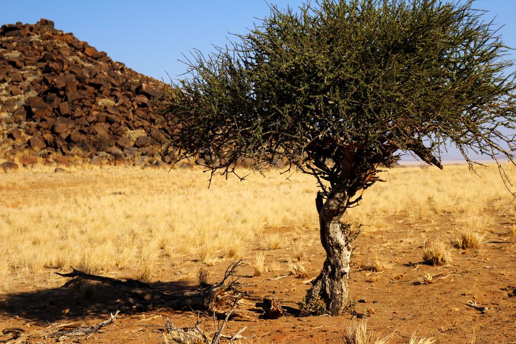 Arbre dans le Namib Desert en Namibie