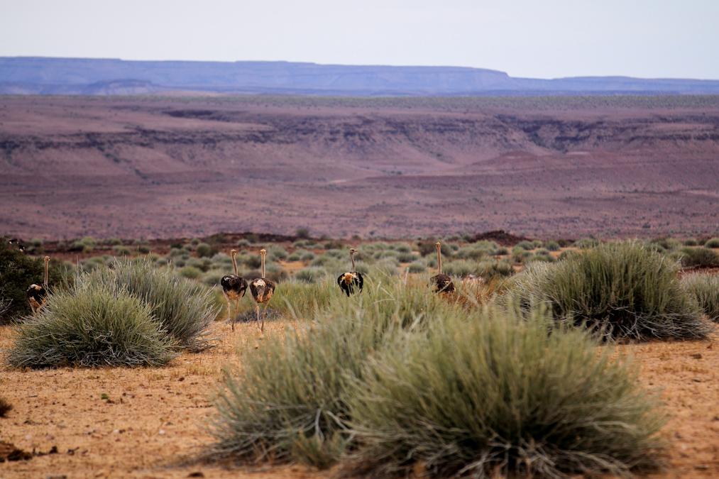 Autruche d'Afrique (Struthio camelus) en Namibie