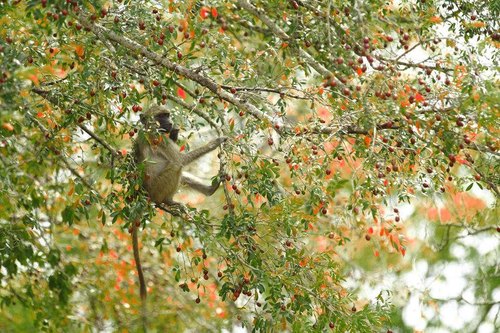 Babouin jaune (Papio cynocephalus) en Afrique du Sud