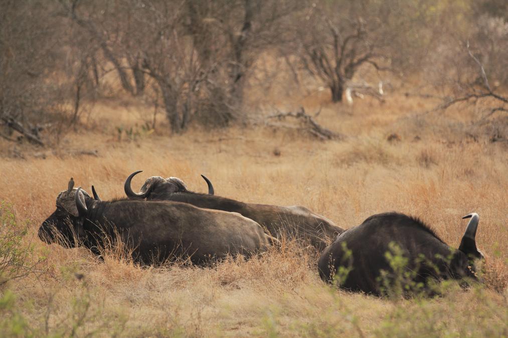 Buffle d'Afrique (Syncerus caffer) en Afrique du Sud