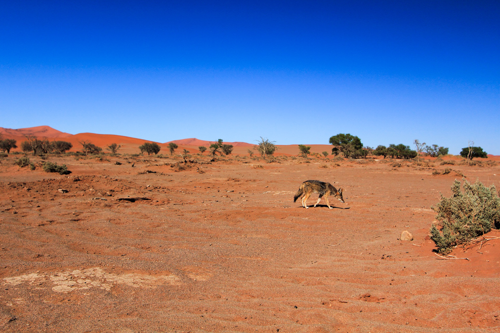 Chacal à chabraque (Canis mesomelas) en Namibie
