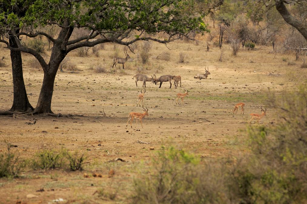 Cobe à croissant (Kobus ellipsiprymnus) en Afrique du Sud