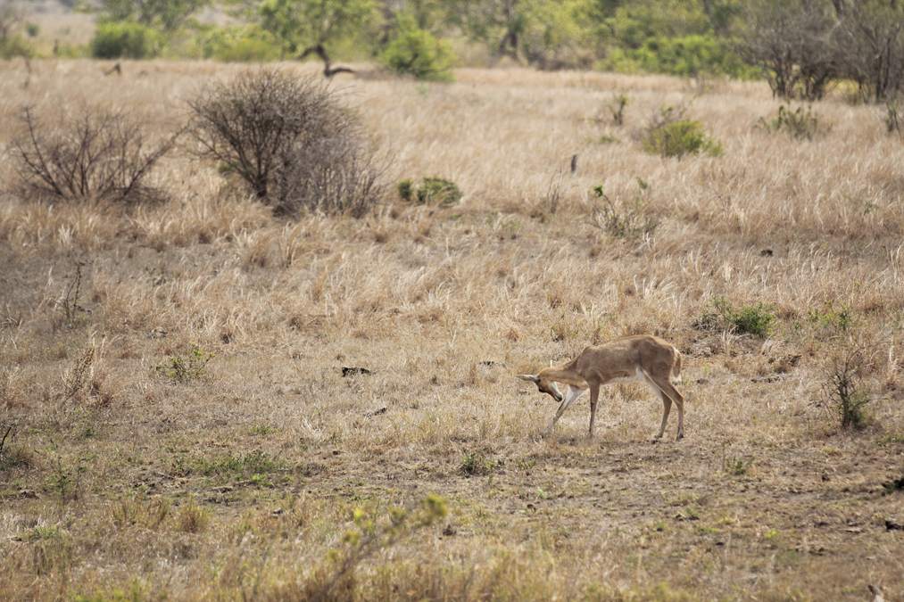 Cobe de montagne (Redunca fulvorufula) en Afrique du Sud