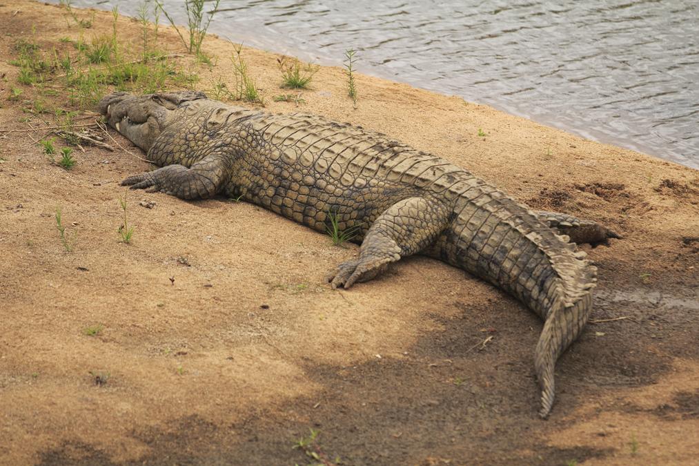 Crocodile du nil (Crocodylus niloticus) en Afrique du Sud