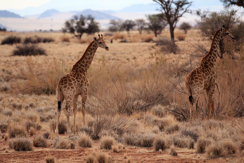 Girafe d'Angola (Giraffa camelopardalis angolensis) en Namibie