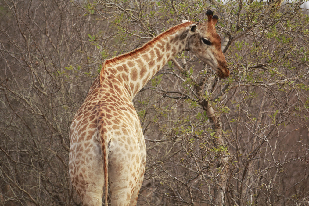 Girafe du cap (Giraffa camelopardalis giraffa) en Afrique du Sud