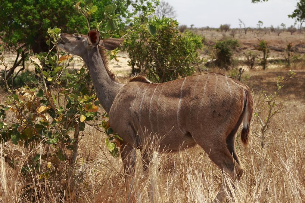 Grand koudou (Tragelaphus strepsiceros) en Afrique du Sud