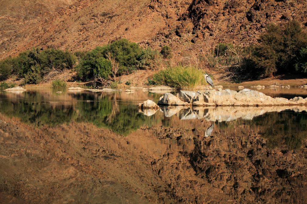 Héron cendré (Ardea cinerea) en Namibie
