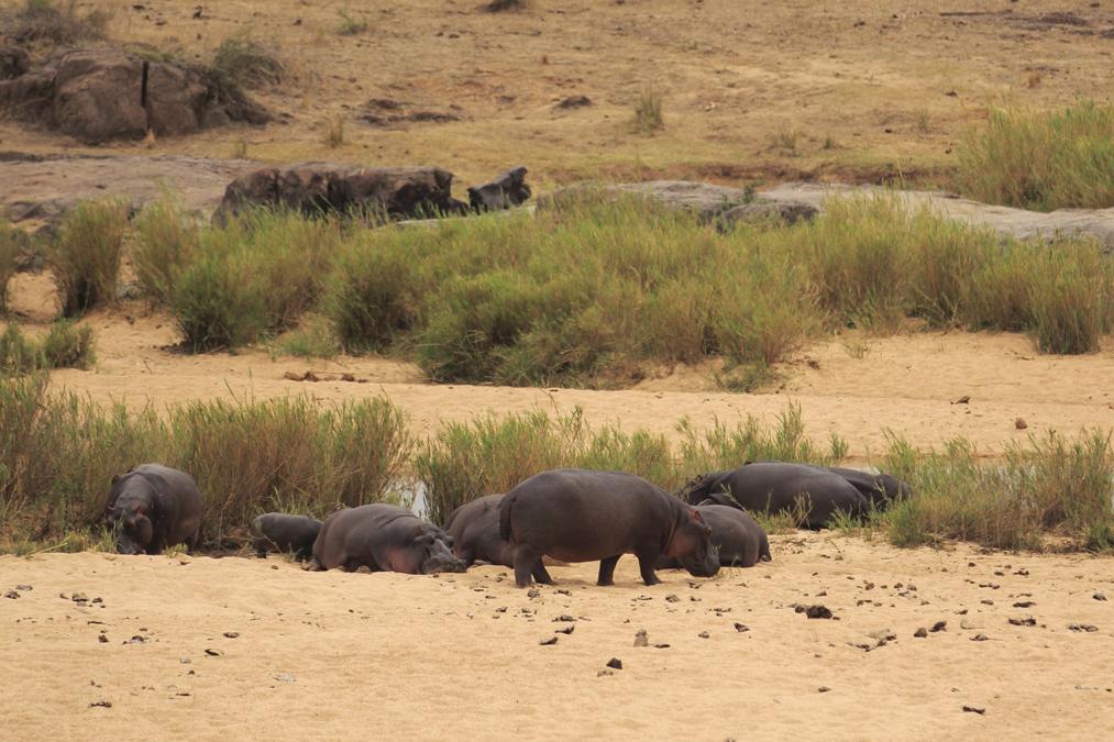 Hippopotame commun (Hippopotamus amphibius) en Afrique du Sud