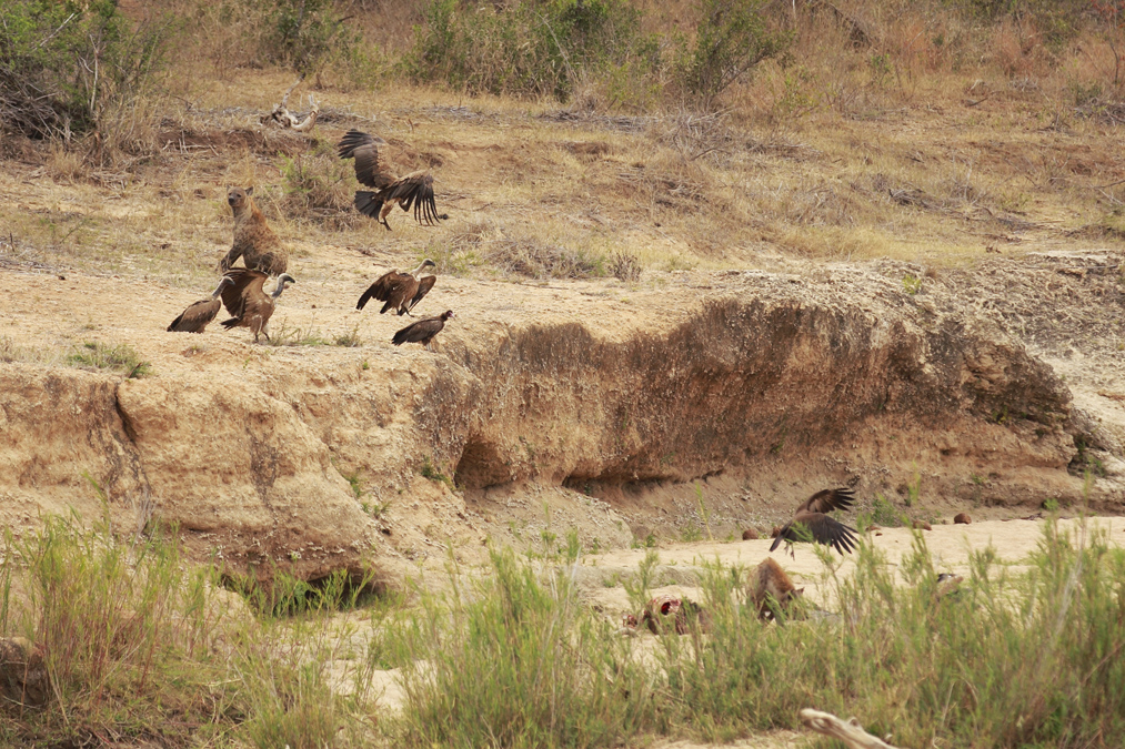 Hyène tachetée (Crocuta crocuta) en Afrique du Sud