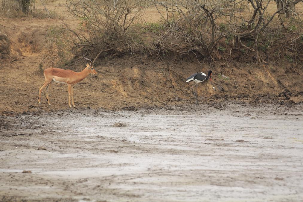 Impala (Aepyceros melampus) en Afrique du Sud
