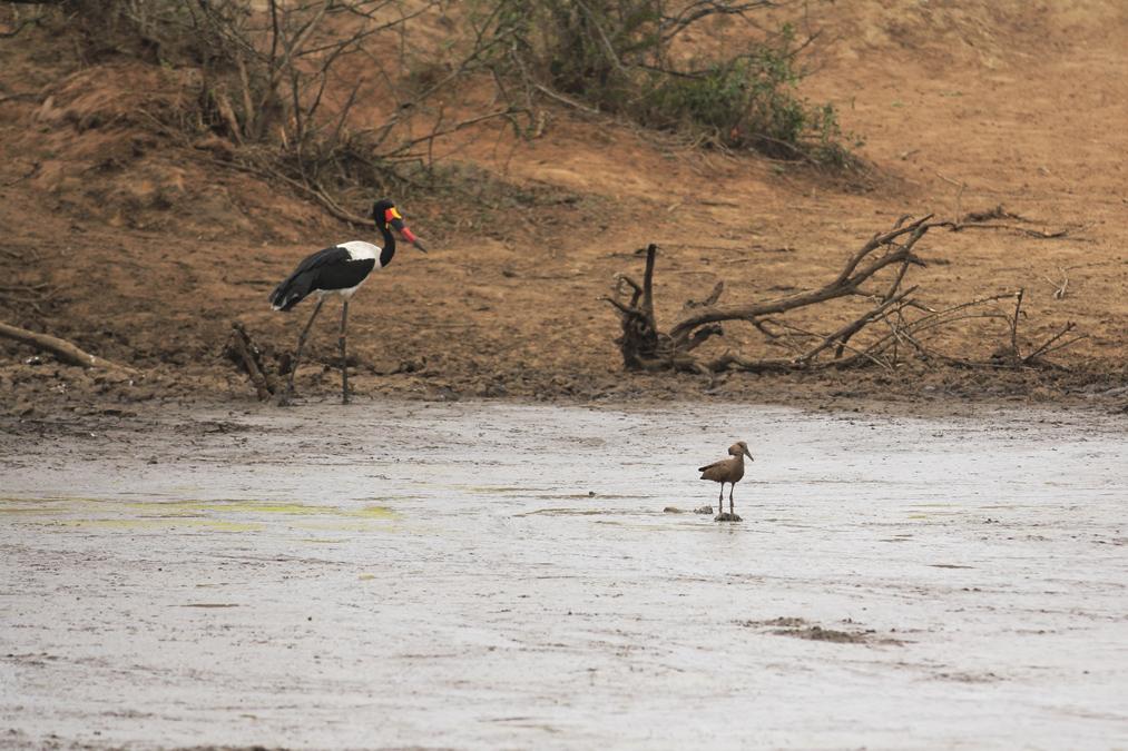 Jabiru d'Afrique (Ephippiorhynchus senegalensis) en Afrique du Sud