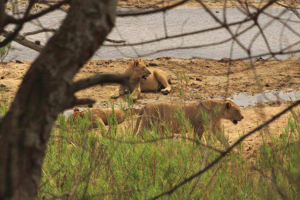 Lion d'Afrique (Panthera leo leo) en Afrique du Sud