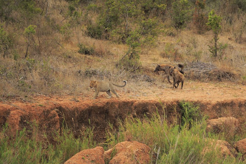 Léopard d'Afrique (Panthera pardus pardus) en Afrique du Sud