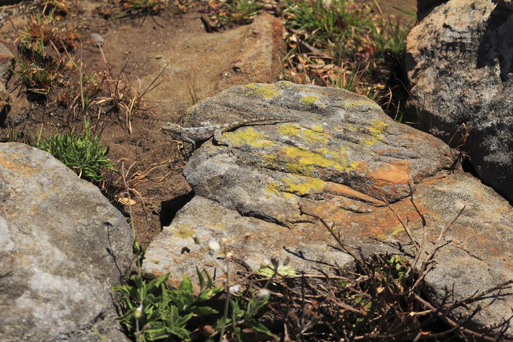 Lézard en Afrique du sud (Agama aculeata)