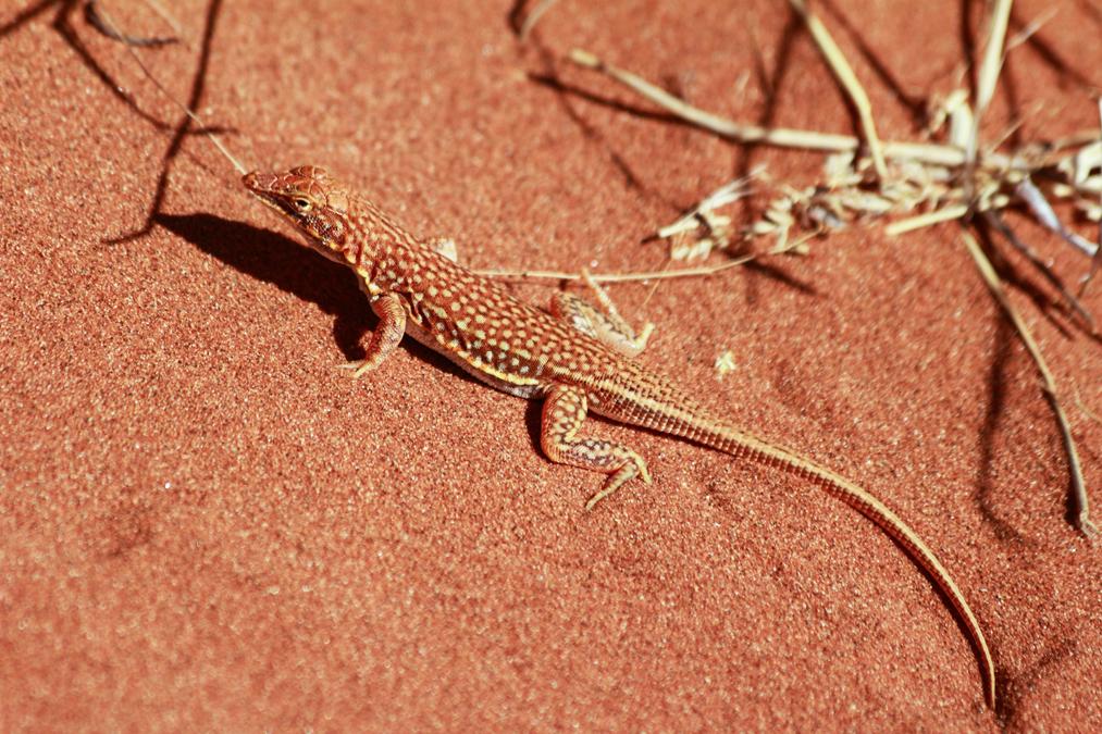 Lézard (Meroles cuneirostris) en Namibie