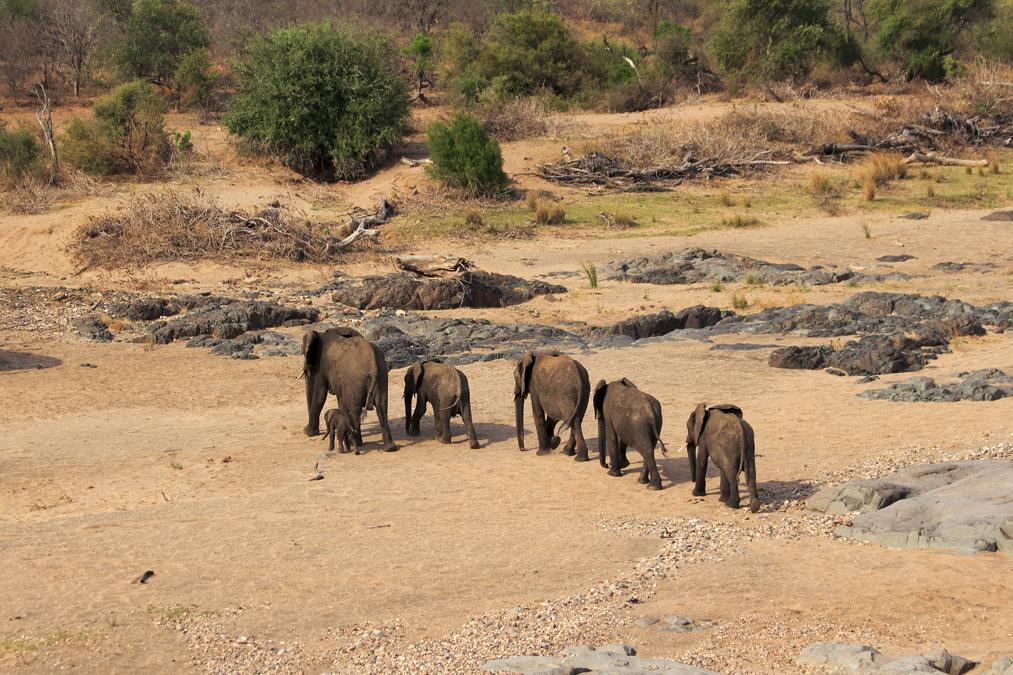 Éléphant de savane d'Afrique (Loxodonta africana) en Afrique du Sud