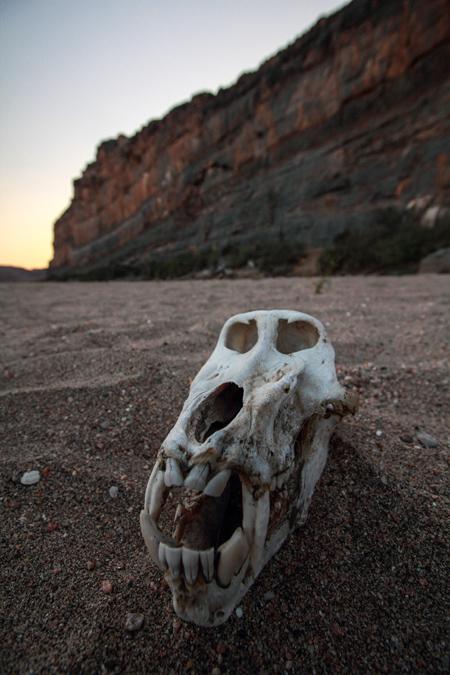 Crâne de babouin en Namibie