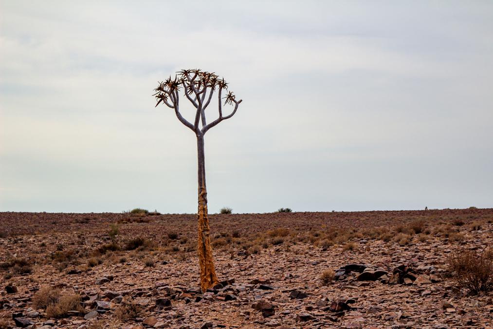 Kokerboom (Aloidendron dichotomum) en Namibie