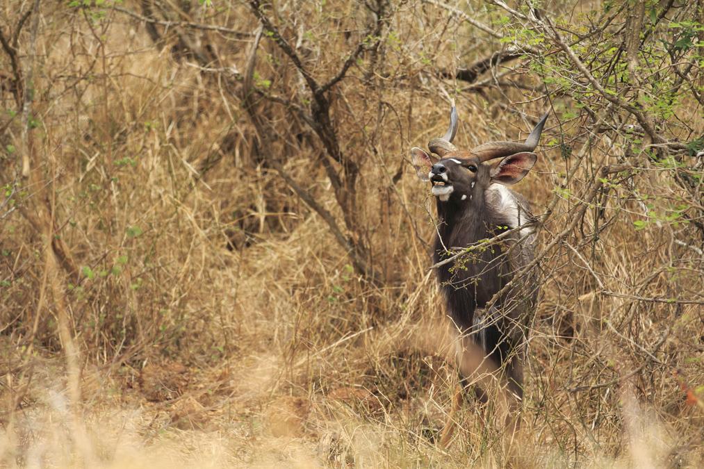 Nyala (Tragelaphus angasii) en Afrique du Sud