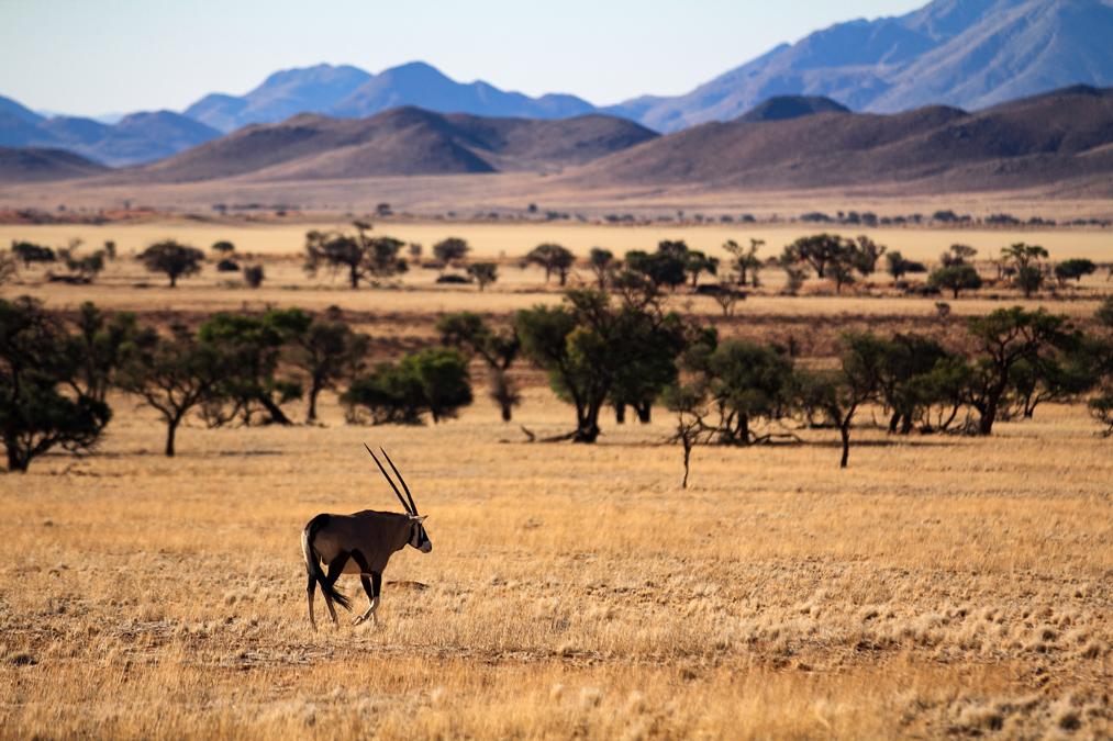 Oryx gazelle (Oryx gazella) en Namibie