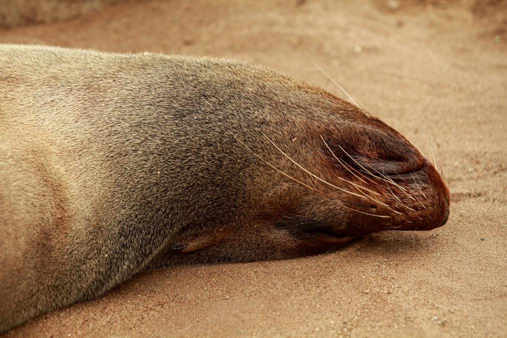 Otarie à fourrure d'Afrique du Sud (Arctocephalus pusillus) en Namibie