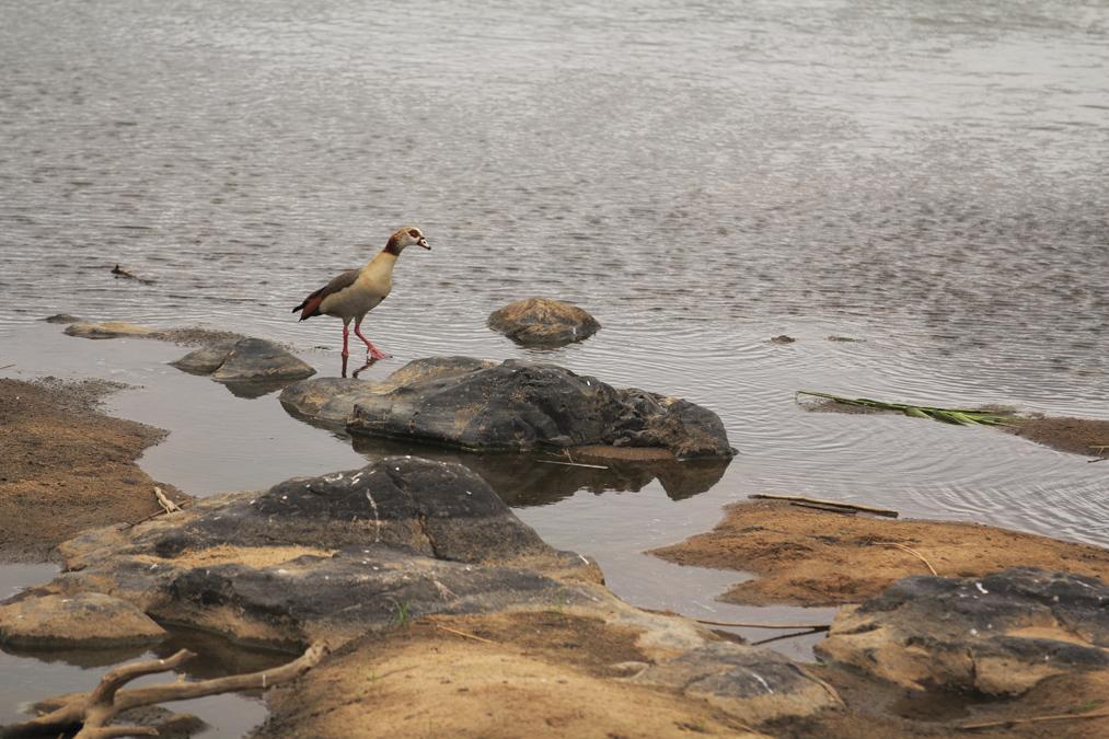 Ouette d'Égypte (Alopochen aegyptiaca) en Afrique du Sud