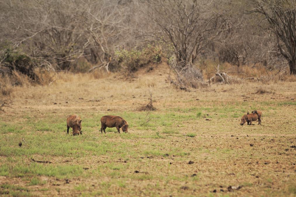 Phacochère commun (Phacochoerus africanus) en Afrique du Sud