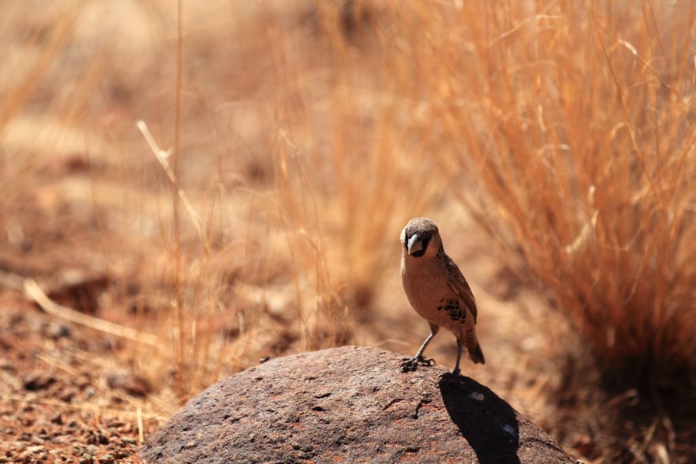 Républicain social (Philetairus socius) en Namibie