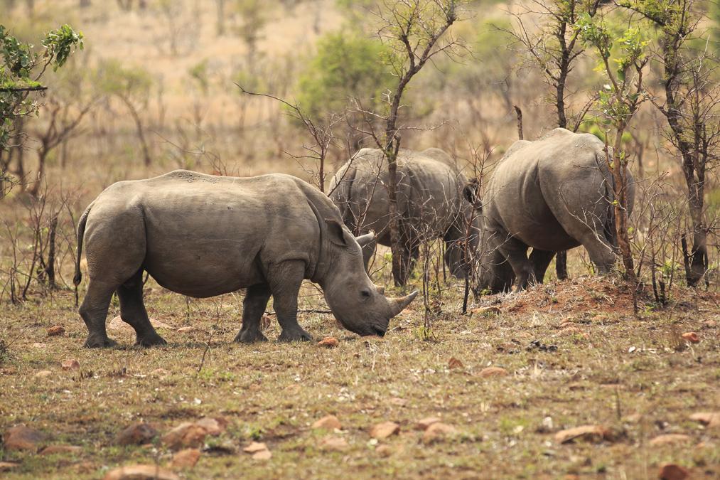 Rhinoceros blanc (Ceratotherium simum) en Afrique du Sud