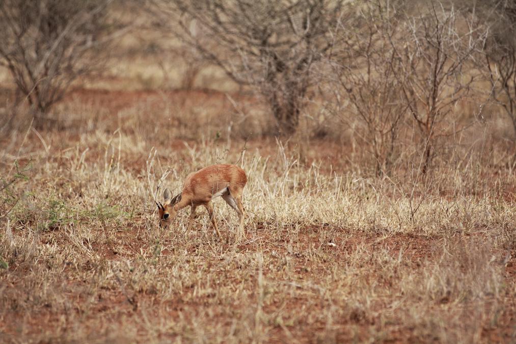 Steenbok (Raphicerus campestris) en Afrique du Sud