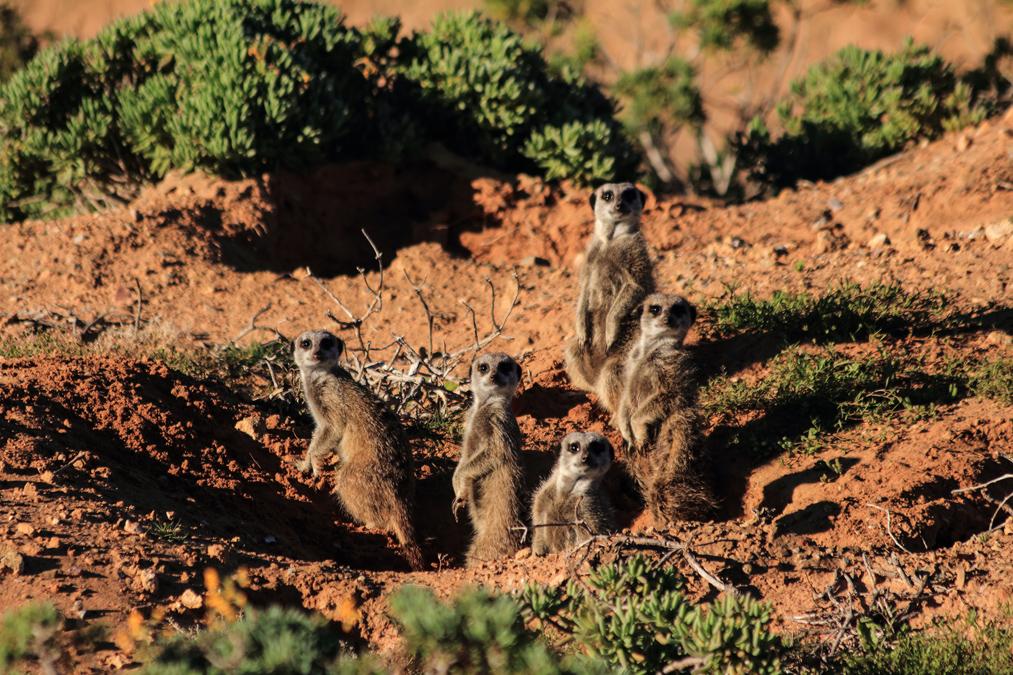 Suricate (Suricata suricatta) en Namibie