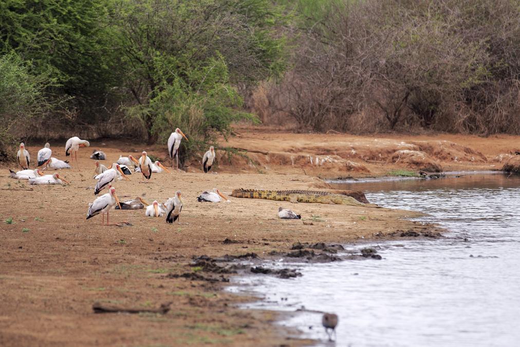 Tantale ibis (Mycteria ibis) en Afrique du Sud