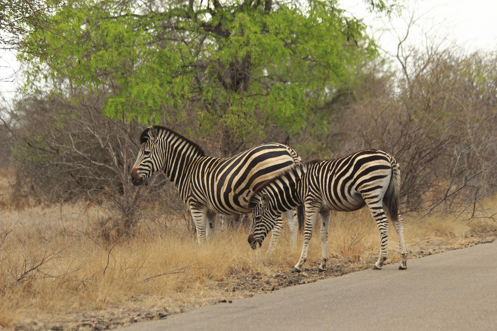 Zèbre des plaines (Equus quagga) en Afrique du Sud