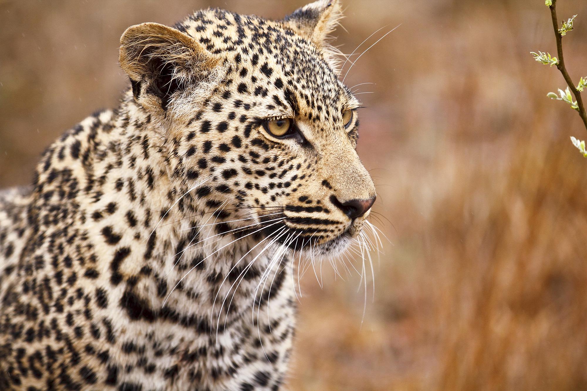Léopard d'Afrique (Panthera pardus pardus) en Afrique du Sud par Guillaume Projetti