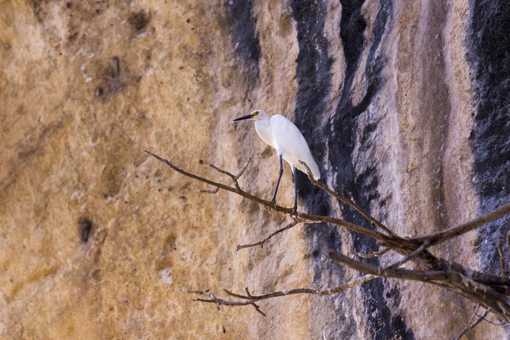 Aigrette garzette (Egretta garzetta) à Madagascar