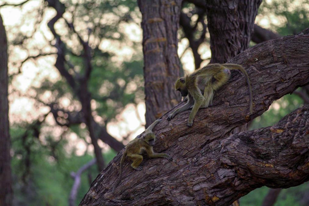 Babouin jaune (Papio cynocephalus) au Zimbabwe