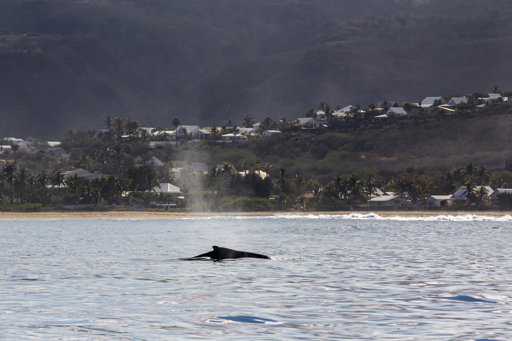 Baleine à bosse (Megaptera novaeangliae) à la Réunion