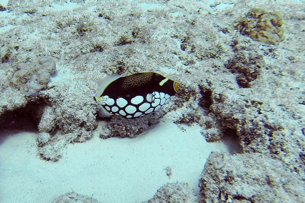 Baliste clown (Balistoides conspicillum) à Mayotte