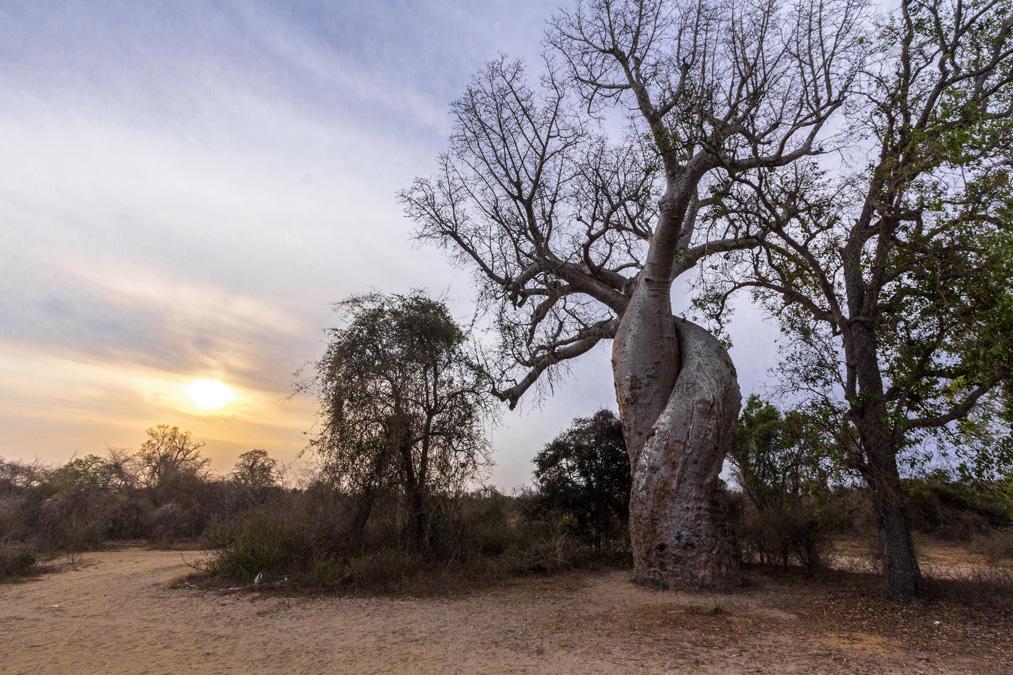 Baobab amoureux de Morondava à Madagascar
