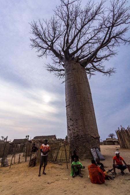 Baobab za (Adansonia za) à Madagascar