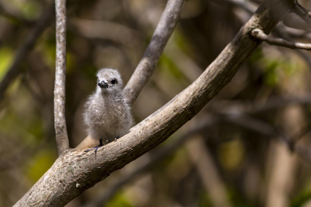 Gygis blanche (Gygis alba) à Rodrigues