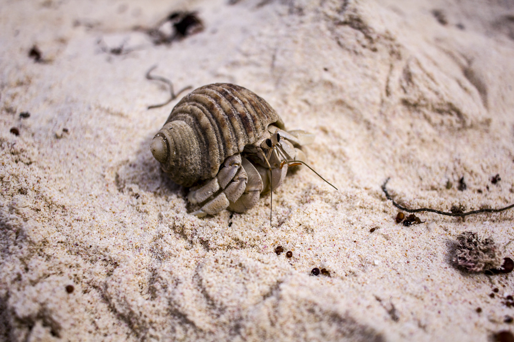 Bernard L'Hermite (Paguroidea) aux Seychelles