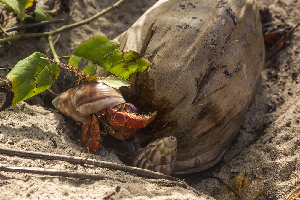 Pagure (Paguroidea) en Martinique