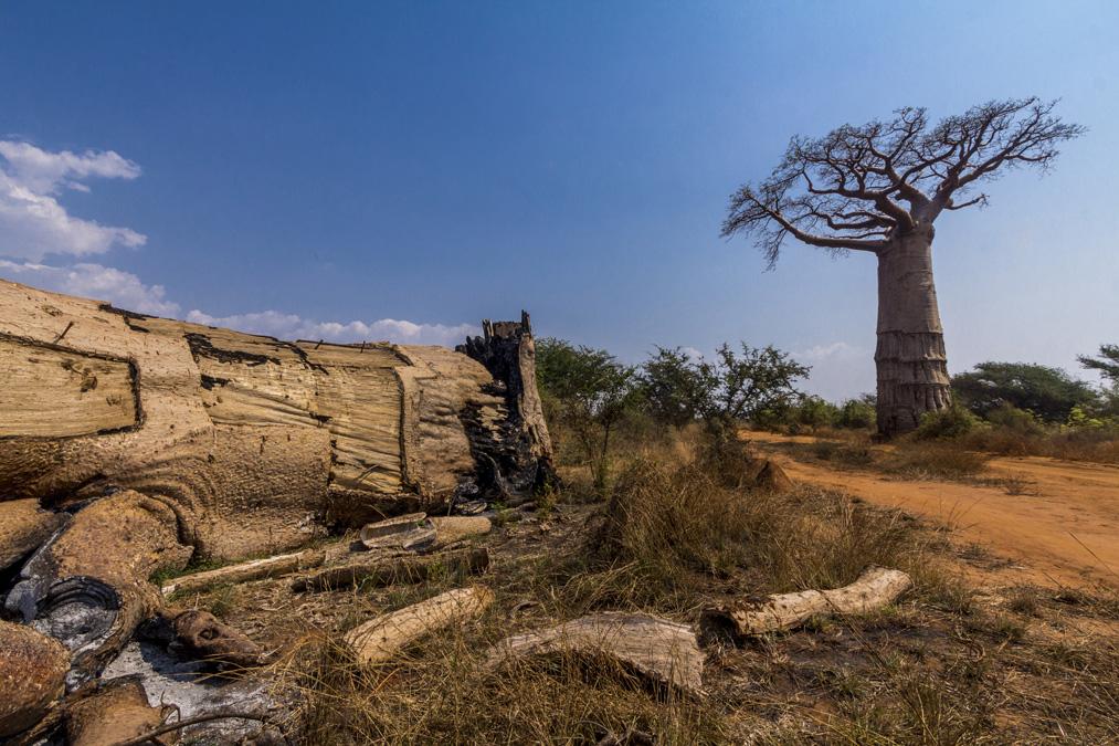 Baobab (Adansonia) à Madagascar