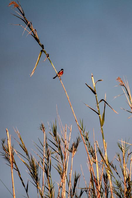 Oiseau de l'Okavango Delta au Botswana